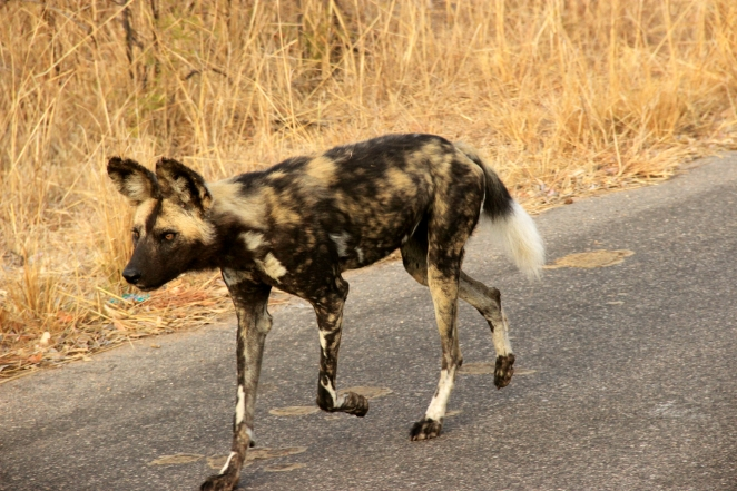 An African Dog